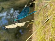 Calopteryx virgo (male), At the Zrmanja river.